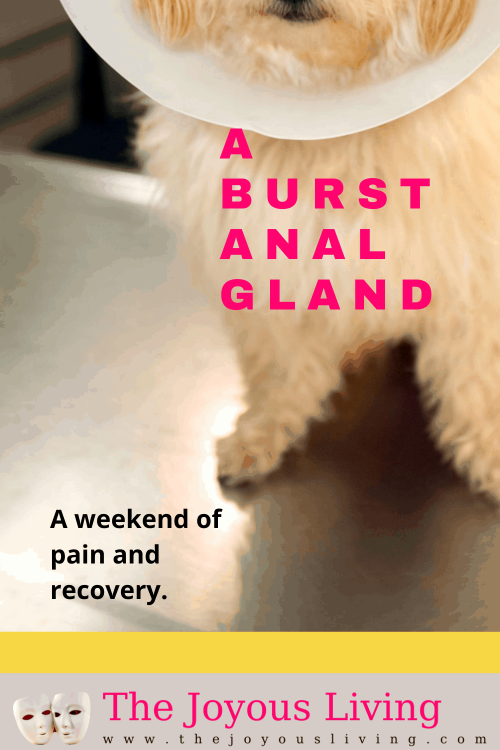 Experiencing a burst anal gland. When to call the vet for a burst anal gland. Recovery at home for a burst anal gland. #analgland #dogs #vet #thejoyousliving