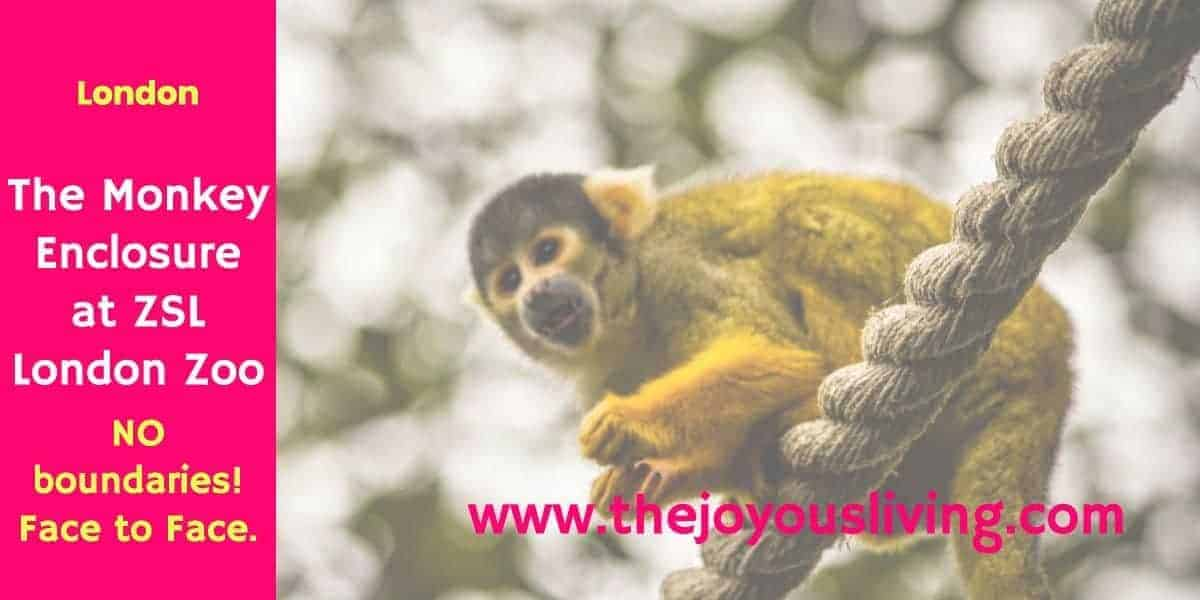 The Joyous Living: No Boundaries Separate You and the Monkeys at ZSL London Zoo