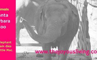 The Joyous Living: Santa Barbara Zoo's Elephant Program Dies with Little Mac.
