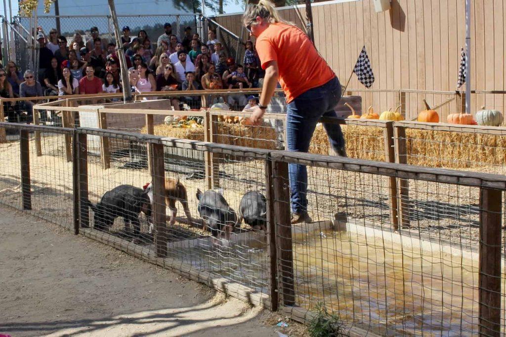 Underwood Farms Pig Races. (c) the joyous living.