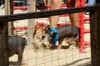 Underwood Farms Fall Festival Pig Races. (c) The Joyous Living.
