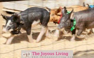 The Joyous Living: Underwood Farm Pig Races