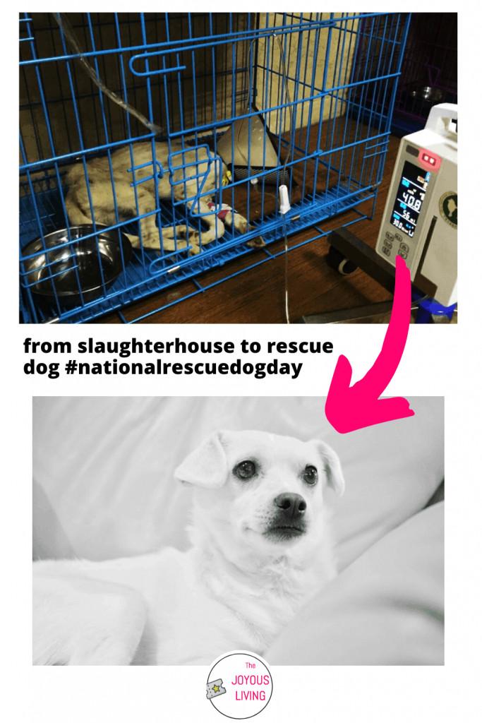 From Slaughterhouse to Rescue Dog #nationalrescuedogday #rescuedog #slaughterhouse #dog #captainhastings #soidog #lifeanimalrescue #thejoyousliving