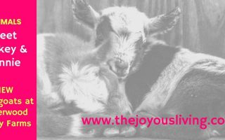 The Joyous Living Mickey and Minnie Underwood Family Farms Moorpark Baby Goats