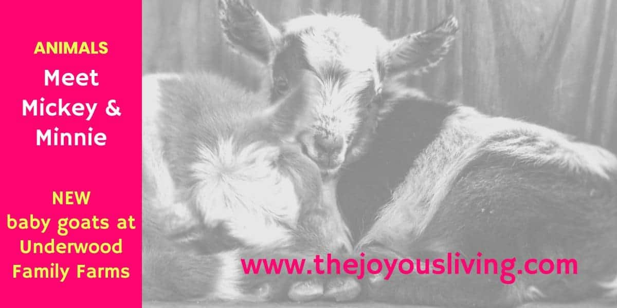 The Joyous Living Mickey and Minnie Underwood Family Farms Moorpark Baby Goats